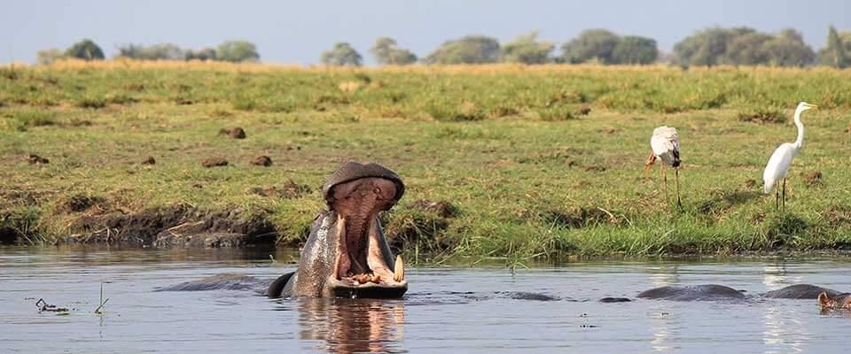 Hippo surfacing. Botswana, Africa.