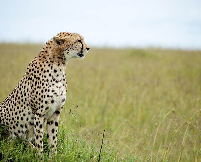 Leopard in the wild. Botswana, Africa.