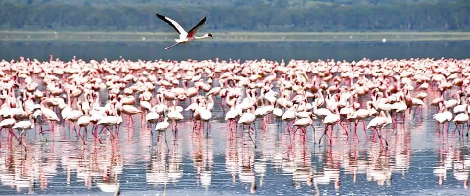A regiment of flamingos. Kenya, Africa.