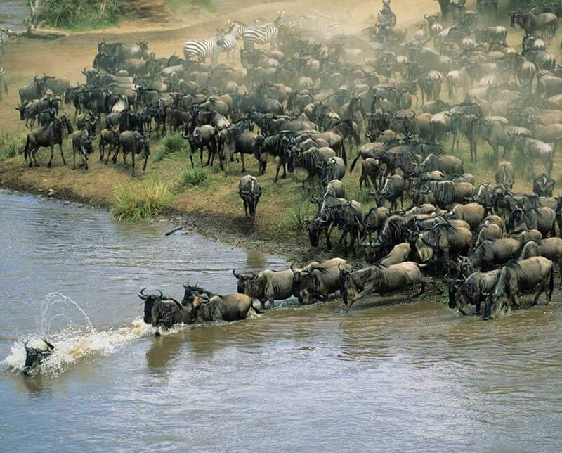 Migration of wildebeests. Kenya, Africa.
