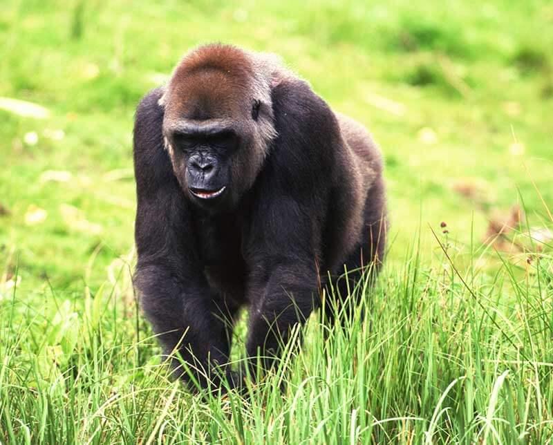 Gorilla. Kenya, Africa.