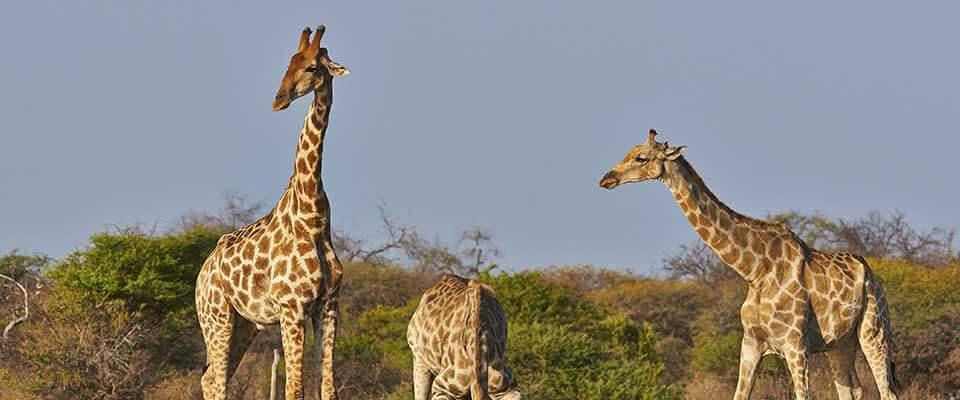 Giraffes. Namibia, Africa