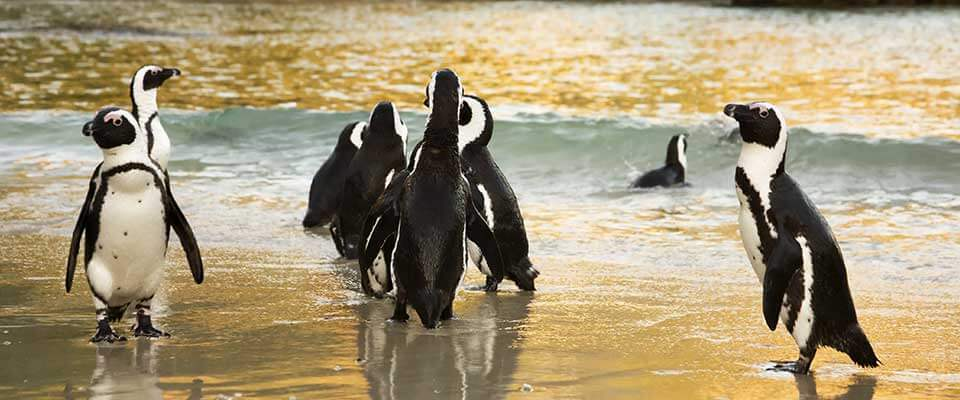 Penguins. South Africa, Africa
