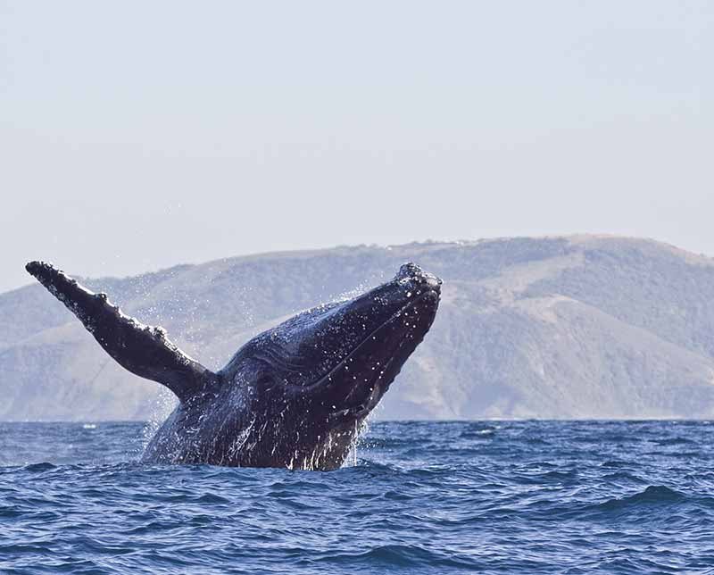 Whale surfacing. South Africa, Africa