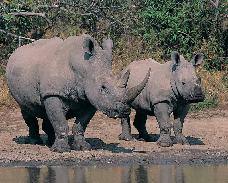 Two rhinos. South Africa, Africa