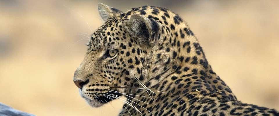 Leopard. Zimbabwe, Africa