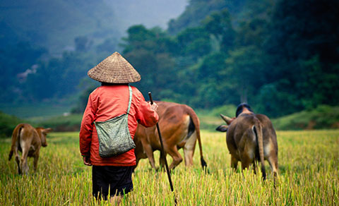 A man herding animals. Asia.