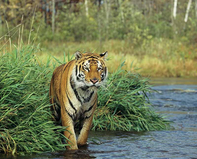 Tiger. India, Asia.