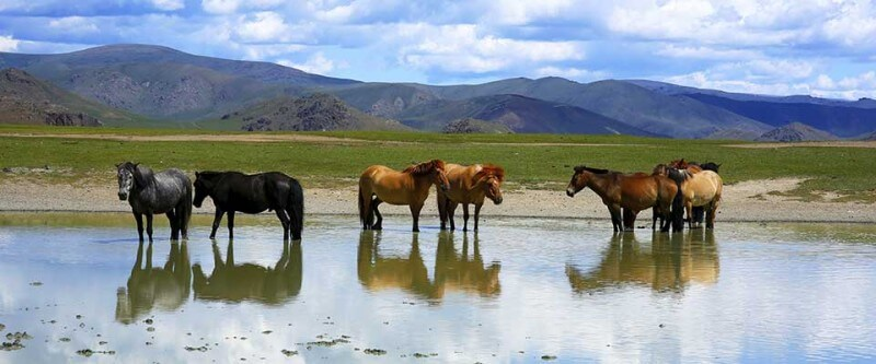 Horses walking in the water. Mongolia, Asia.