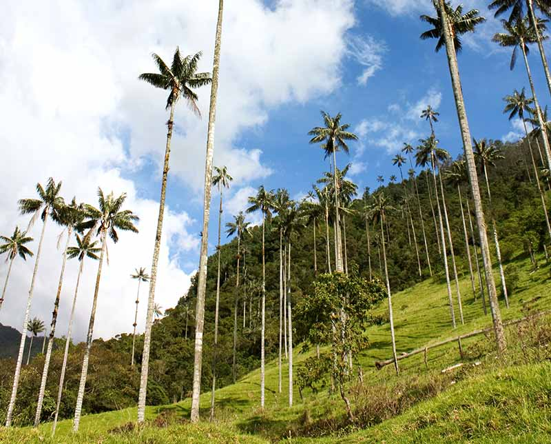 Tall trees. Discover Colombia. Colombia.