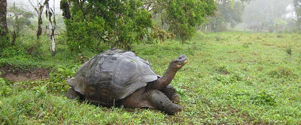 Giant tortoise. Galapagos, Ecuador.