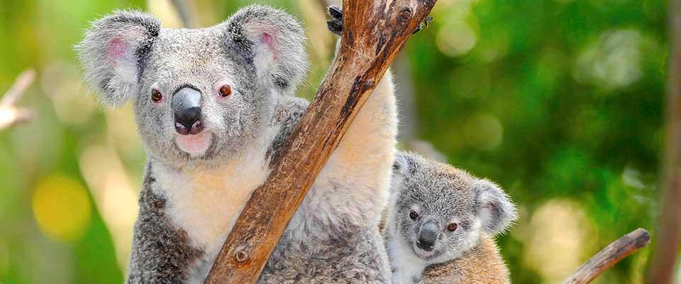 Koalas. Australia.