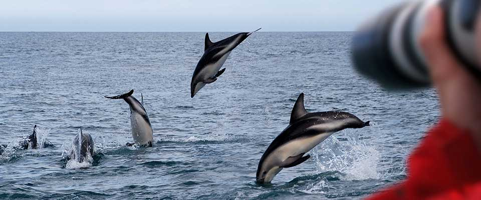 Dolfins jumping out of the water. New Zealand.