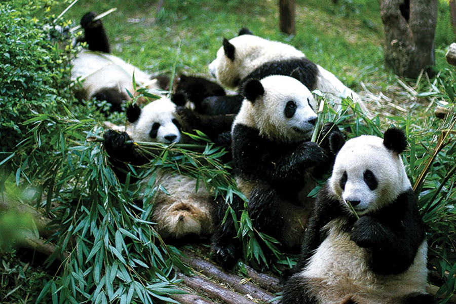 Panda's enjoying playing with their food.