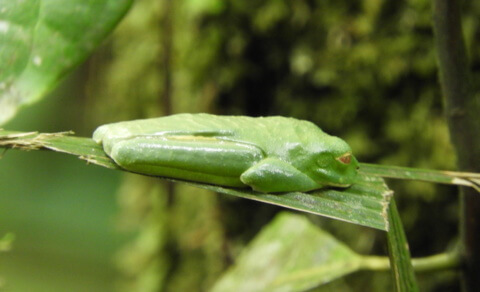 Sleeping red-eyed green tree frog - Braulio Carillo National Park
