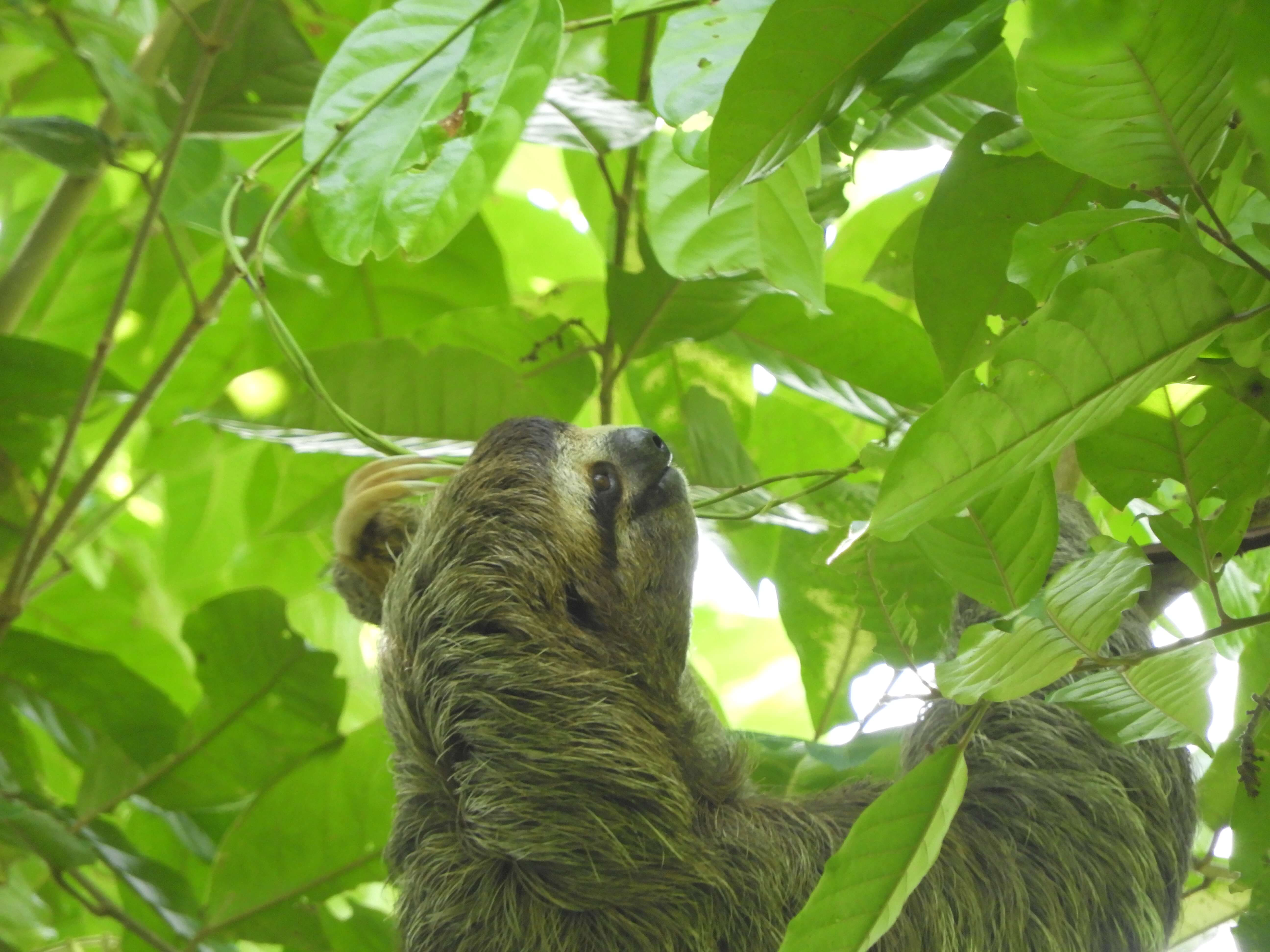 Three-toed Sloth – Manual Antonio National Park