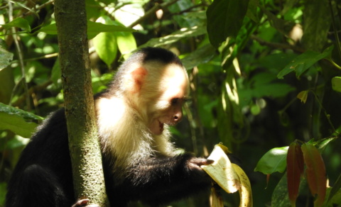 White-headed Capuchin Monkey discovering a left over banana – Manual Antonio National Park