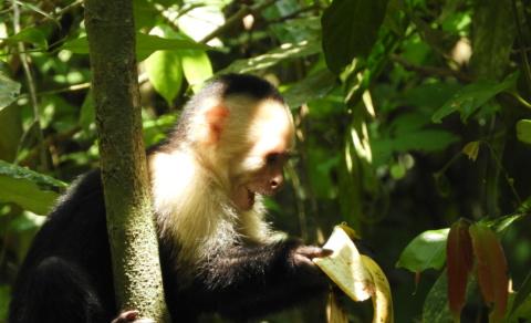 White-headed Capuchin Monkey discovering a left over banana – Manual Antonio National Park