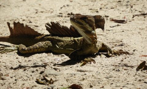 Basilisk Lizard, often referred to as the jesus lizard as they appear to run on water – Manual Antonio National Park