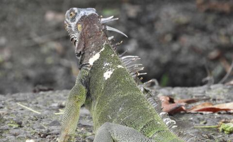 Iguana – Quepos town centre
