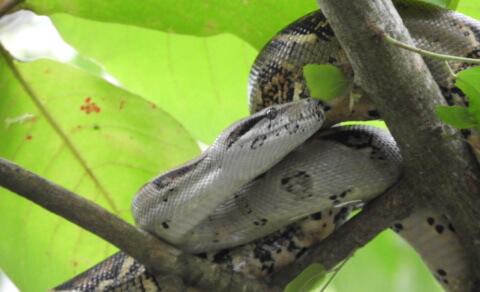 Boa constrictor – Quepos town centre