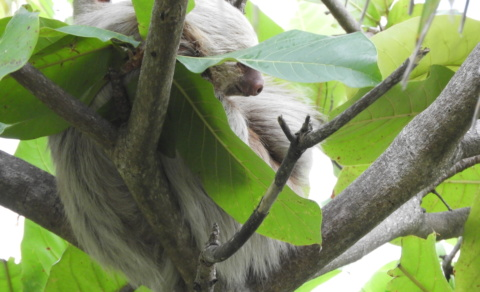 Two-toed sloth – Quepos