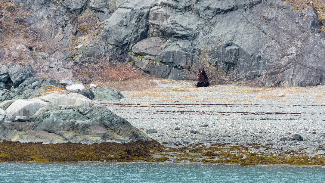 Grizzly Bear in Glacier Bay. Alaska. Cruise