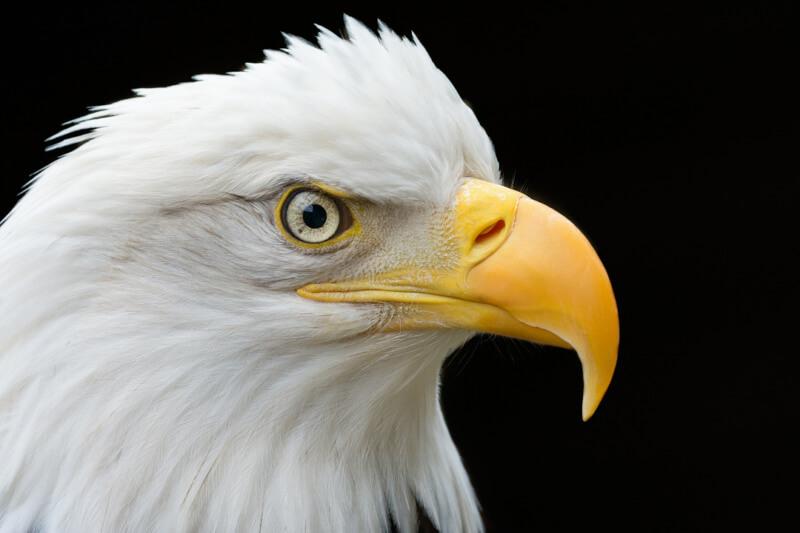 Close up with a Bald Eagle - Alaska Raptor Center